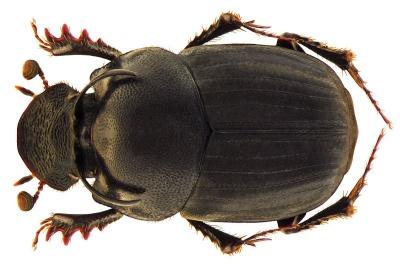 Onthophagus taurus.